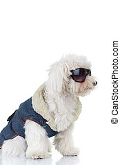side view of a bichon puppy  wearing clothes and sunglasses