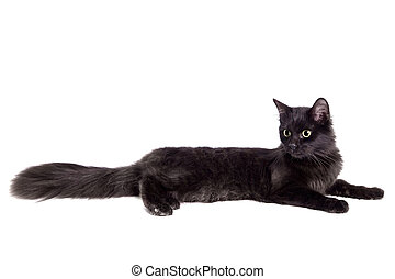 Side view of a Black Cat on white