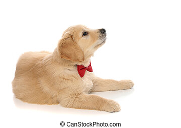 baby golden retriever dog lying down, wearing a red bowtie