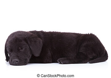side view of a cute black labrador retriever sleeping