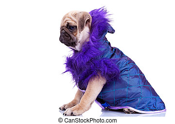 side view of a cute pug puppy dog wearing clothes - side ...
