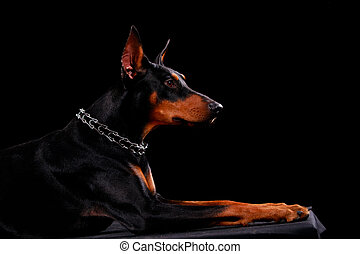 Side view of a Doberman dog lying looking forward. The animal is shot in the studio on a black background. Close up.