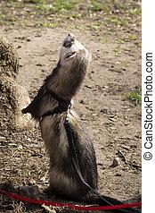 Ferret standing on hind legs