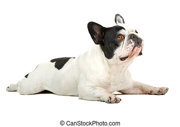 french bulldog (frenchie) - side view of a french bulldog...