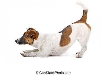 Side view of a Jack russel terrier dog propped up on its front paws, isolated on a white background
