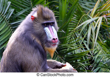 Side View of a Mandrill.  Mandrillus Sphinx