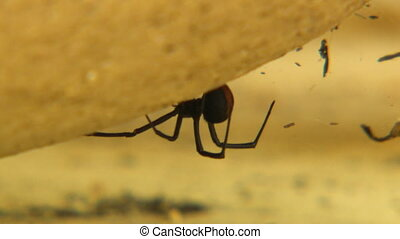 Side view of a redback spider by its web - Macro side view...