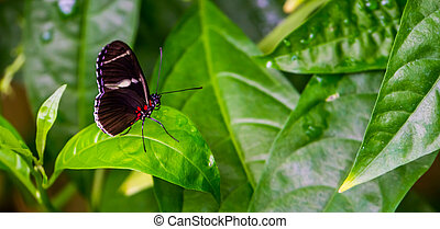 Side view of a sara longwing butterfly, tropical insect ...