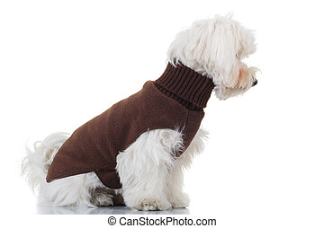 side view of a seated bichon puppy wearing brown clothes