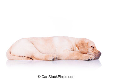 side view of a sleeping labrador retriever puppy dog