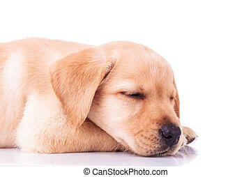 side view of a sleeping labrador retriever puppy