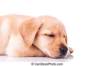 side view of a sleeping labrador retriever puppy