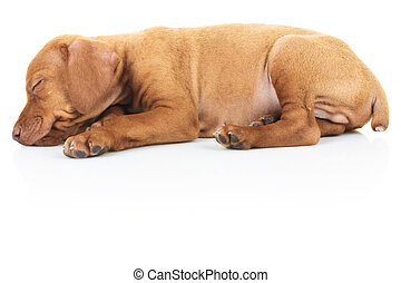 side view of a sleeping viszla puppy dog