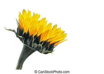 Side view of a sunflower on white with copy space.