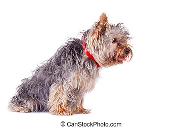 very curious yorkshire terrier