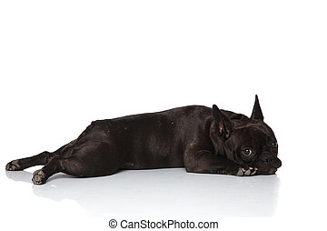 side view of adorable french bulldog lying