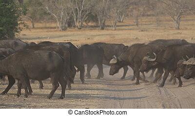 African buffalos cattle crossing track