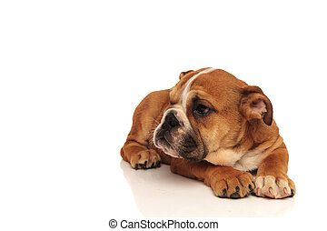 side view of an english bulldog puppy laying down