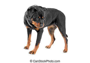 Side view of an Rottweiler dog standing. Dog looking down. Isolated on a white background