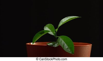Side view of brown pot isolated on black background. Person puts the seedling in the pot with his hand.