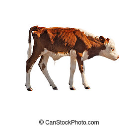 calf isolated on white