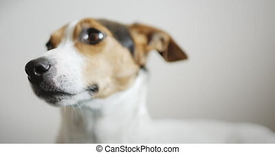 Side view of calm jack russell terrier lying on blue floor...