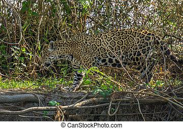 Side view of camouflaged Jaguar in Pantanal walking through...