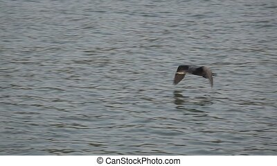 Side view of cormorant flying in slow motion - Slow motion...
