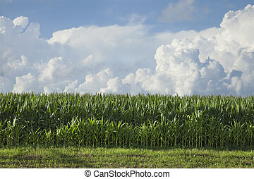 Side view of corn below dramatic clouds on a summer afternoon