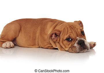 side view of cute english bulldog puppy resting