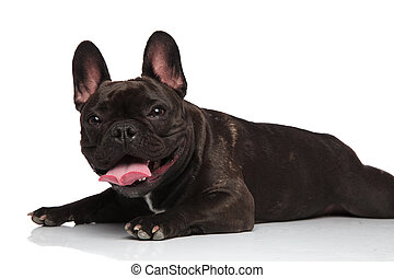 side view of cute lying french bulldog panting