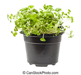 side view of green mustard cress in pot isolated