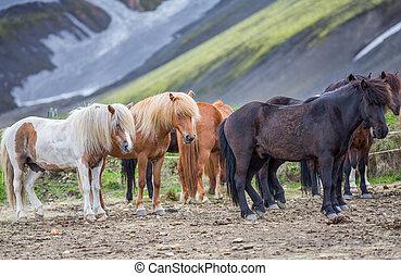 Side view of Icelandic horses group in Landmannalugar -...