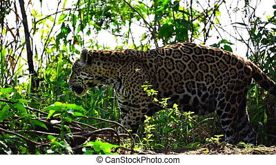 Jaguar spraying to mark its territory in Pantanal wetlands -...
