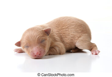 Newborn Pomeranian Puppy Sleeping on White Background