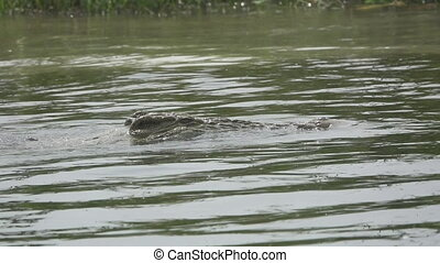 Side view of Nile crocodile swimming in slow motion