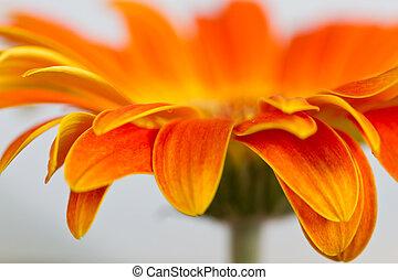 Side view of orange gerbia detail macro green stem