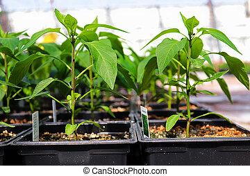 Side view of pepper plants growing in a nursery