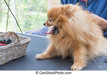 Side view of Pomeranian German Spitz grooming