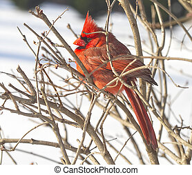 Side view of Red Cardinal