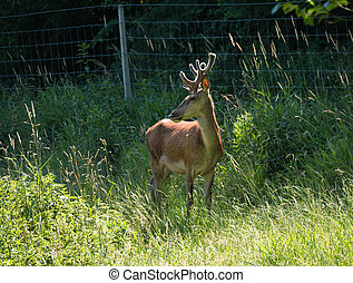 Side view of red deer in a field