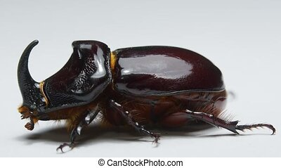Side view of rhinoceros beetle on isolateed white background
