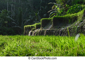 Side view of rice terraces in Bali with visible running water and dark jungles in background