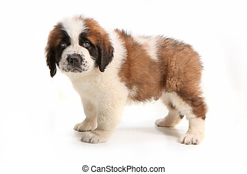 Side View of Saint Bernard Puppy Looking Droopy
