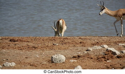 Springbok - Side view of Springboks against waterhole