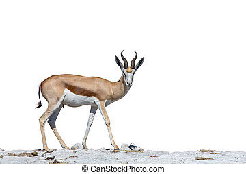 Springbok - Side view of Springboks over stone ground and...