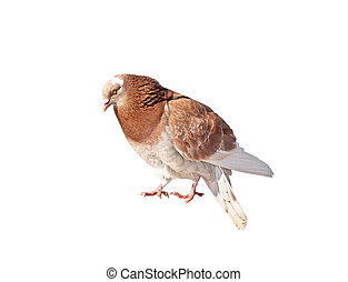 Side view of standing pigeon isolated