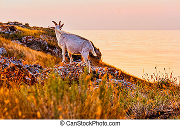 Side view of the goat on rocks