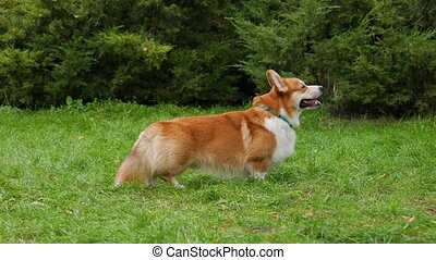 Side view of the Welsh Corgi Pembroke dog in the park. The pet stands in full growth and looks in front of itself, sticking out its tongue. Close up. Slow motion