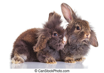 two lion head rabbit bunnys lying down